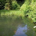 Jagd-Club Bad Nauheim e.V. - Idylle 2014: ein eingewachsenes Feuchtbiotop mit Naturteich, angelegt vom Jagd-Club im Jahre 1979
