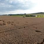 Foto Jagd-Club Bad Nauheim e.V. Nr. 784 - Wildschaden durch Sauen im Weizen