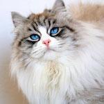 Murmur's Tiffany - gatta siberiana Neva Masquerade blue silver tabby point & white