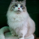 Madre: Murmur's Grace Kelly - seal tabby point/white