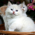 Murmur's Ula - red silver tabby point & white