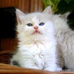 Irina - seal tabby point/white