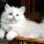 Murmur's Ofelia - blue silver tabby point & white