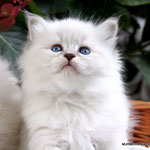 Murmur's Fiona - blue tabby point
