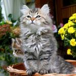 Murmur's Joy - gattina siberiana black tabby mc.