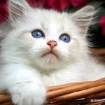 Murmur's Rio - blue tabby point & white