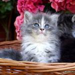 Murmur's Lea - blue tabby & white