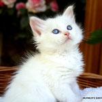 Ingul - cream tabby point/white