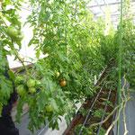 トマトの養液土耕栽培