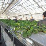 イチゴの高設養液土耕栽培