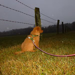 Nova Scotia Duck Tolling Retriever Nita in Beobachtungs Position