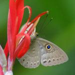 Eurybia lycisca, Atenas, Costa Rica