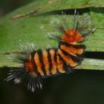 Arctiidae, Rio Napo Rainforest, Amazonia, Peru