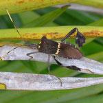 Leaf-footed Bug, Leptoglossus zonatus, Atenas, Costa Rica