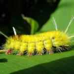 Tussock Moth Caterpillar, Lophocampa modesta, Atenas, Costa Rica