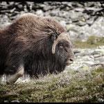 Moschusochse, Musk ox, Dovrefjell, Norwegen, Norway