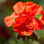 San Anton Garden_MG_1365
