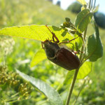 Just good photo of the chafer