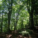 15.緑滴るブナ林。