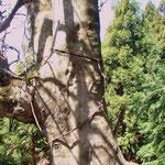 こういう状態のブナの木が何本かありました