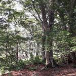 20210713風況観測塔付近のブナ林