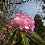 シャクナゲはたしか滋賀県の花でしたね
