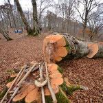 伐採されたブナの巨木。