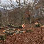 工事現場 無残に伐採されたブナ。