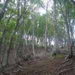 標高600m付近のブナ林