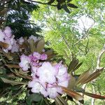 シャクナゲの花と白樺