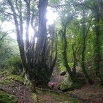 思わず見上げる桂の巨木