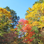 木道から見上げると紅葉真っ盛り