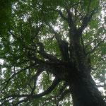 音波山付近のブナ巨木②