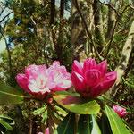 咲きかけたシャクナゲ
