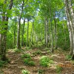 美しいブナ林の登山道