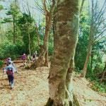尾根にはブナの大木が多くありました