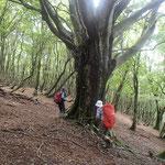 黒谷西尾根のブナ巨木