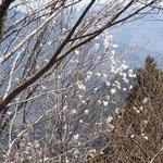 タムシバの白い花が目立ちます