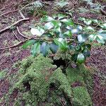 ⑧比叡山,杉の切り株から芽生えた樒(シキミ)、これもいかにも比叡山。