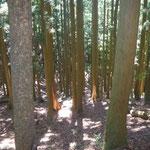 17. 尾根沿いの植林地にあった熊剝ぎ痕。