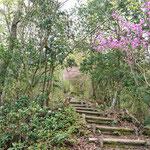 ミツバツツジとミヤマシキミ咲く登山道
