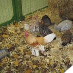 Federfüssige Zwerghühner