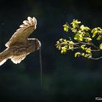 Waldkauzmännchen mit Blindschleiche / Kattuglehannen med stålorm