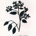 Mehrjähriges Silberblatt