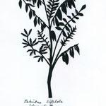Lakritze Süßholz