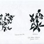 Coronilla Hellebore
