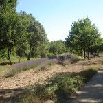 chênes truffiers et lavandes