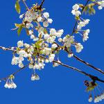 blühende Baume, blauer Himmel