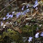 Leberblümchen, Foto: © Hans-Ueli Thöni