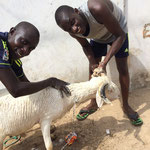羊を屠殺する前に洗剤で体を洗っています